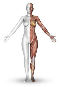 筋肉のマップを示す半体と女性像のレンダリング3d