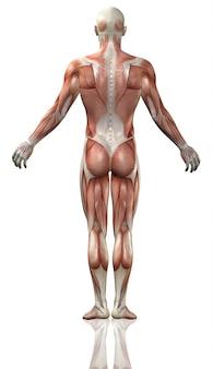 詳細な筋肉のマップと医療の男の背面図のレンダリング3d