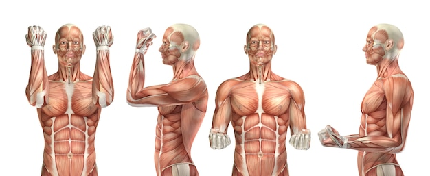 肘の屈曲と伸展を示す3d医療図