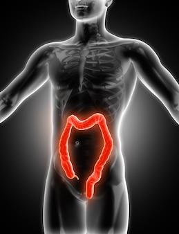結腸を示す3d医療画像