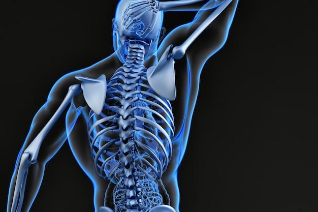 Мужская верхняя часть спины и скелетная система. 3d-иллюстрация