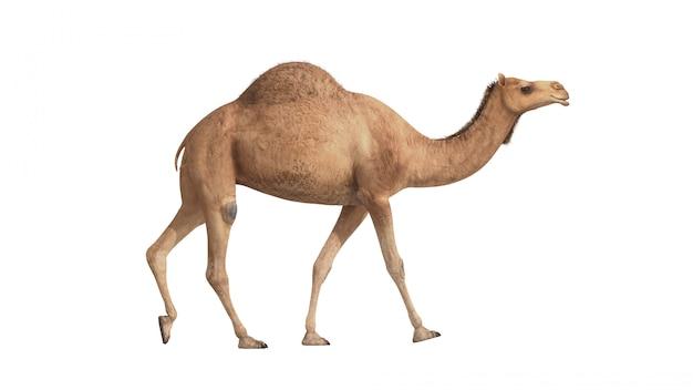 3d визуализация верблюд, ходьба на белом