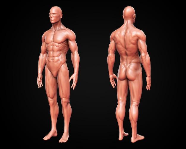 3d, концептуальная человеческая мышца, анатомия кожи человека анатомии спереди и сзади, обтравочный контур