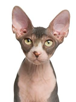 スフィンクスの子猫(4ヶ月)、ブリティッシュショートヘア(1歳)