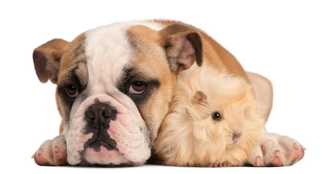 イングリッシュブルドッグ子犬(4ヶ月)と若いペルーモルモット(2ヶ月)