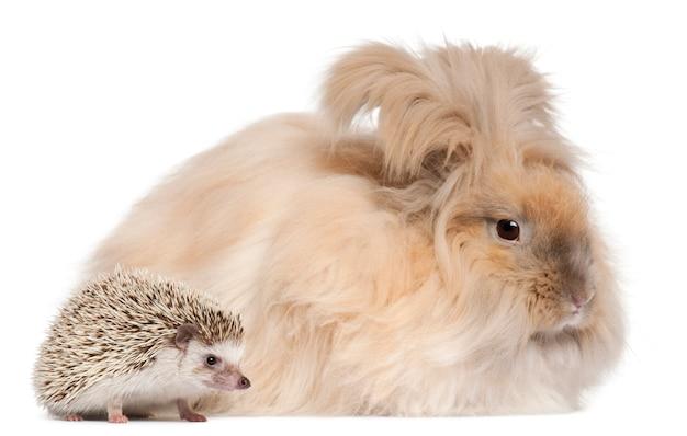 英語のアンゴラのウサギと白い背景の前に4つま先ハリネズミatelerix albiventris