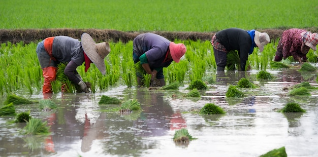 4 farmers are planting rice, transplant rice seedlings