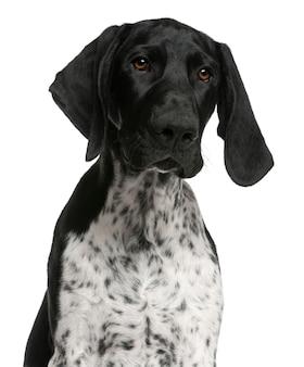 Крупный план немецкого короткошерстного щенка, 4 месяца,