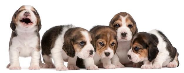 ビーグル子犬のグループ、4週齢、並んで座って