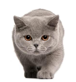 ブリティッシュショートヘア子猫、4ヶ月、