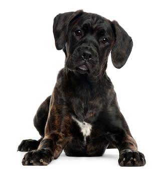 混合品種の子犬、4ヶ月、横になっています。