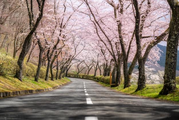 県道の両側に沿った4月の春の桜のトンネル