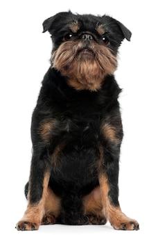 5歳のグリフォンbruxellois。分離された犬の肖像画