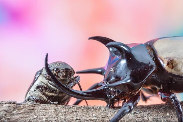 5 뿔 코뿔소 딱정벌레, eupatorus gracilicornis 딱정벌레 오순절 화려한 배경