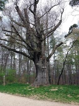 Тонированное изображение 500-летнего дуба в германии
