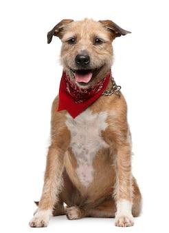 グリフォンフォーブドゥブルターニュ、5歳。分離された犬の肖像画
