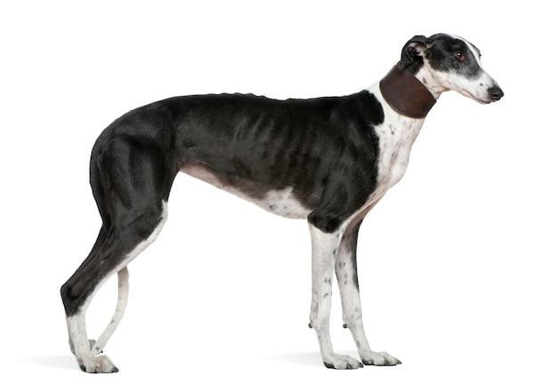 ガルゴエスパニョール犬、5歳、立っています。