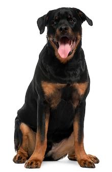Ротвейлер с 5 лет. портрет собаки изолированный