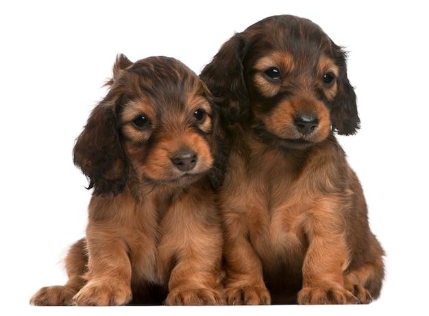 ダックスフンド子犬(5週齢)