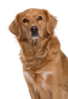 Новошотландский ретривер с 5 лет. портрет собаки изолированный