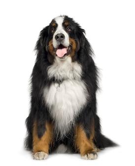 Бернский зенненхунд с 5 лет. портрет собаки изолированный