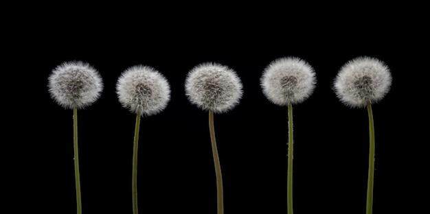タンポポの種黒い背景に5つのタンポポの花。