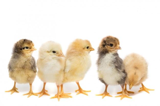 白い背景の上の5つの鶏