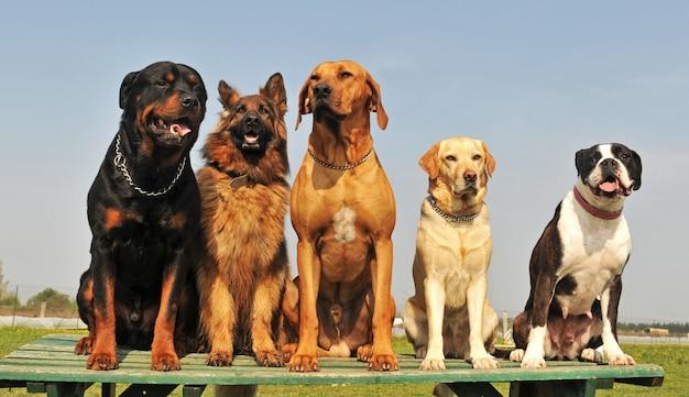 5匹の大きな犬