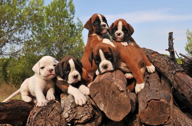 5匹の子犬のボクサー