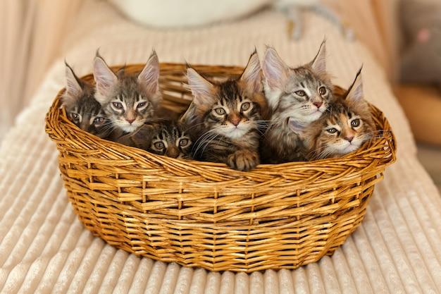 2ヶ月齢の6匹のマルチカラーの魅力的なメインクーンの子猫 Premium写真