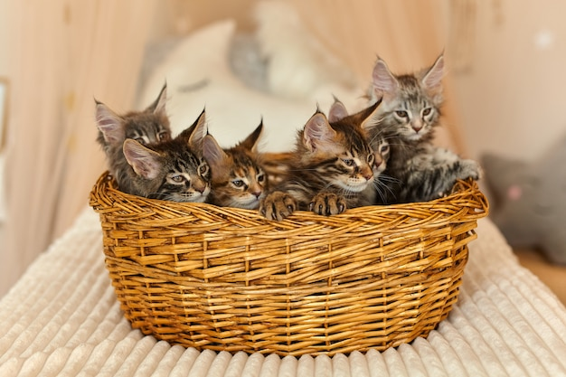 2ヶ月齢の6匹のマルチカラーの魅力的なメインクーンの子猫