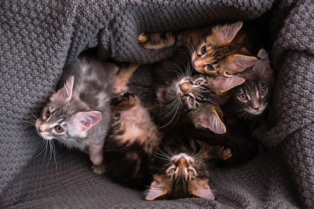 6 multi-colored maine coon kittens in a box with a gray plaid look at the camera, top view