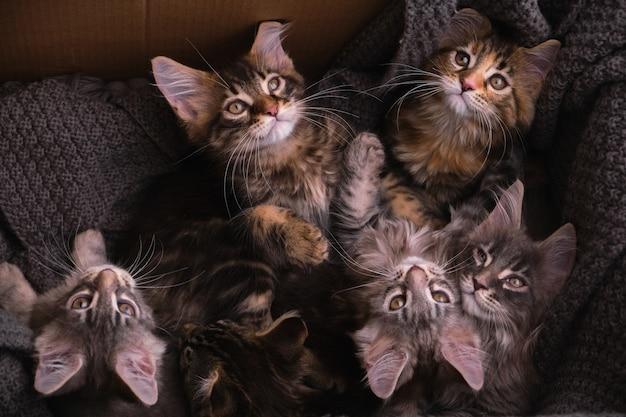 段ボール箱に入った6匹のマルチカラーのメインクーンの子猫。灰色の格子縞のカメラを見て、上面図