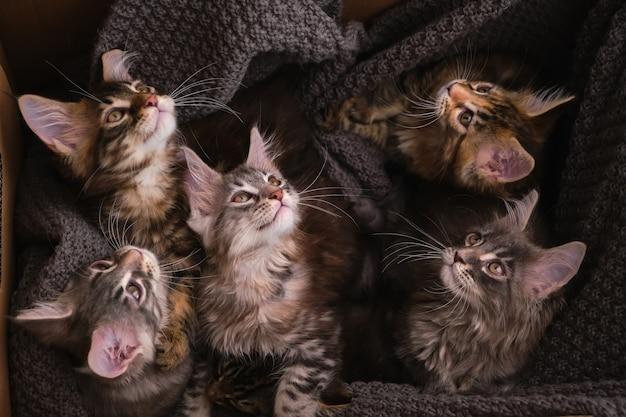 灰色の格子縞の段ボール箱に6匹のマルチカラーのメインクーンの子猫