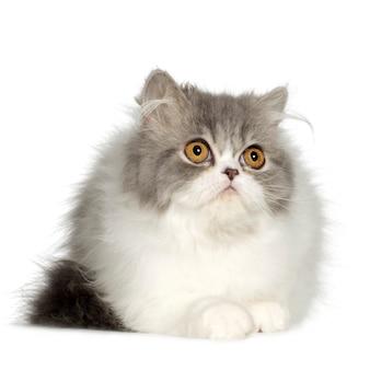 若いペルシャ猫(6ヶ月)