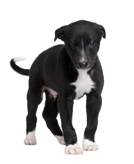 6週間のグレイハウンド犬の子犬。
