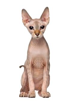 スフィンクスの子猫、生後6か月、座って座っています。