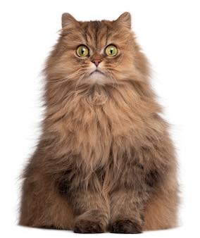 Персидская кошка, 6 лет,