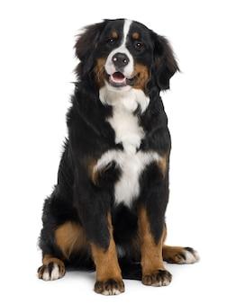 生後6ヶ月のバーニーズマウンテンドッグの子犬。分離された犬の肖像画