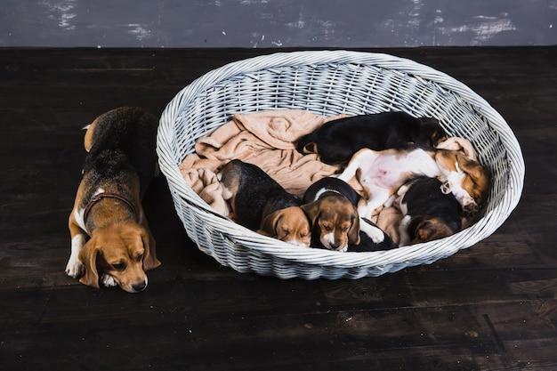 母犬と6つのビーグル子犬