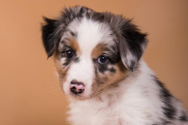 レッドメルルオーストラリアンシェパードの子犬、生後6週間