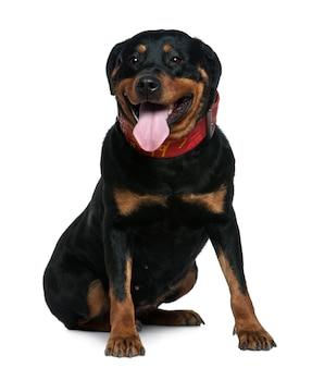Ротвейлер, 7 лет. портрет собаки изолированный