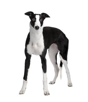 グレイハウンド犬と7ヶ月。