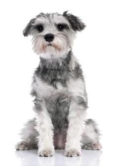 生後7か月のグレーのスタンダードシュナウザーの子犬。