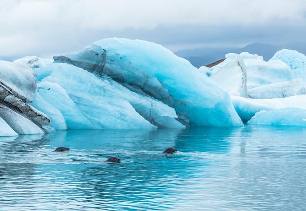 8月に凍ったヨークルスアゥルロゥン湖で泳ぐアザラシ3匹。アイスランド