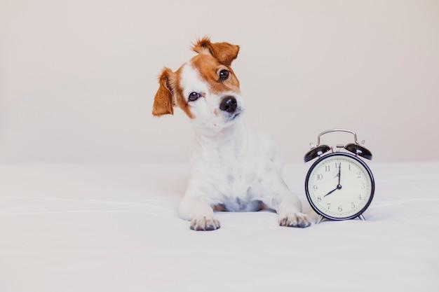午前8時に設定された目覚まし時計でベッドに横たわっているかわいい犬。朝、自宅でコンセプトを覚ます。