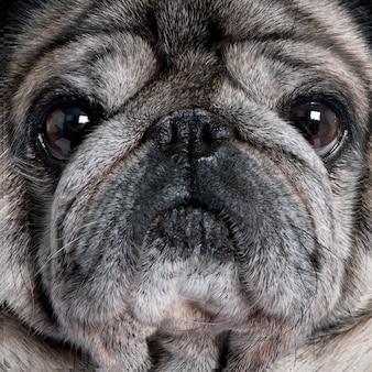 Крупный план мопса с 8 лет. портрет собаки изолированный