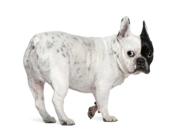 Французский бульдог, 8 лет. портрет собаки изолированный
