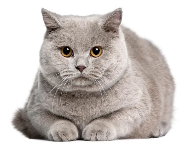 ブリティッシュショートヘアの猫、8ヶ月、