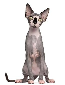 スフィンクス猫、8ヶ月、座っています。